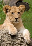 Lion Cub. Photograph of a young Lion Cub resting on a rock while exploring his world Stock Image