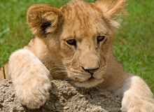 Lion Cub. Photograph of a young Lion Cub resting on a rock while exploring his world royalty free stock images