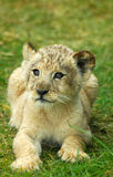Lion cub. A lion cub head portrait in South Africa Royalty Free Stock Images