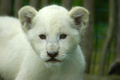 Lion cub. A rare white lion cub head portrait watching other white lion cubs in a game park in South Africa Royalty Free Stock Photos