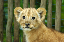 Lion cub. A cute lion cub head portrait watching in a game park in South Africa royalty free stock photography