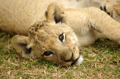 Lion cub. A cute lion cub head portrait watching other lions in a game park in South Africa Stock Photography