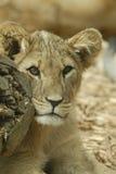 Lion Cub Photographie stock libre de droits
