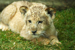 Lion cub. A cute little lion cub head portrait watching other lions in a game park in South Africa Royalty Free Stock Image