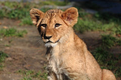 Lion Cub. Lion Baby, zoo or wildlife royalty free stock photo