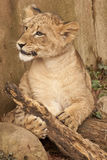 Lion Cub. Captured playing with a wood log Royalty Free Stock Photos