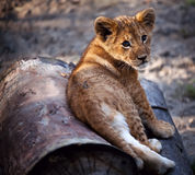 Lion Cub Stock Photos