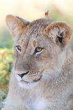 Lion cub. Photographed in the Kalahari Royalty Free Stock Photography