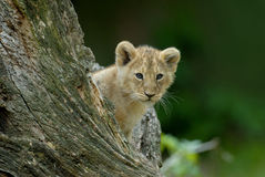 Lion cub. Curious lion cub (Panthera leo royalty free stock photography