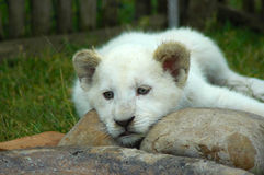 Lion cub. A rare white lion cub head portrait with cute expression in the face resting and watching other lions in a game park in South Africa Royalty Free Stock Images
