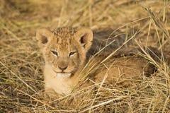Lion Cub. Maasai Mara National Reserve, Kenya, East Africa Stock Image