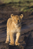 Lion cub. African lion cub (Panthera leo stock photography