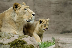 Lion with cub. African lion (Panthera leo) with cub Royalty Free Stock Images