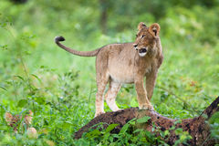 Lion cub. A small lion cub standing on a tree stump Stock Image