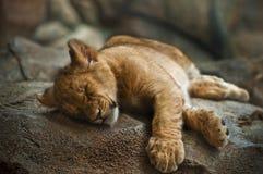 Lion Cub Photo stock