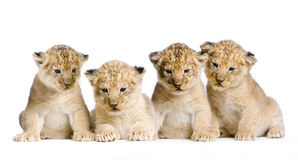 Lion Cub. (3 weeks) in front of a white background. All my pictures are taken in a photo studio royalty free stock image