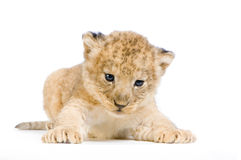 Lion Cub. (3 weeks) lying down in front of a white background. All my pictures are taken in a photo studio stock image