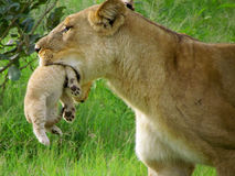 Lion Cub. Lioness with a cub in her mouth (Botswana Stock Image