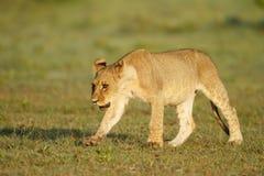 Lion cub. Portrait of a lion cub on Nxai Pan, Botswana Stock Images