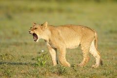 Lion cub. Portrait of a lion cub on Nxai Pan, Botswana Royalty Free Stock Photography