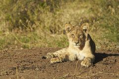 Lion Cub Photographie stock