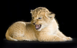 Lion Cub Photo stock