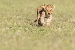 Lion Cub. Maasai Mara National Reserve, Kenya, East Africa stock image
