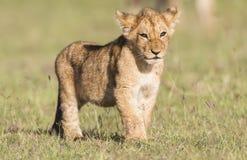 Lion Cub. Maasai Mara National Reserve, Kenya, East Africa Royalty Free Stock Photos