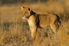 Free Lion Cub Stock Photography - 25928232