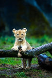 Lion cub. A cute young lion cub resting on a tree branch Stock Photo
