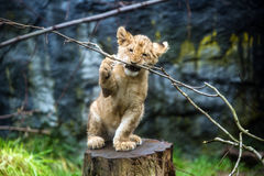 Lion cub. A cute young lion cub chewing a branch stock images