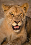 Lion Cub. A lion cub faces the camera in wonderful evening light Royalty Free Stock Photo