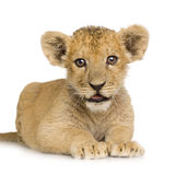 Lion Cub (3 months) Stock Photography