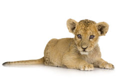 Lion Cub (3 months) Royalty Free Stock Image