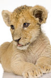 Lion Cub (3 months) Stock Photos