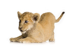 Lion Cub (3 months) Stock Photo