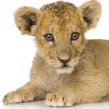 Lion Cub (3 months) Stock Photos