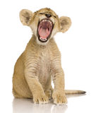 Lion Cub (3 months). In front of a white background stock image