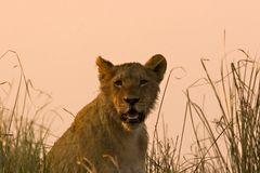 Lion cub Royalty Free Stock Photos