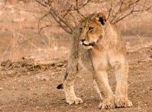 Lion Cub. In Tuli Block in Botswana Stock Images