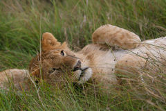 Lion cub. Young lion cub lying in green grass having a good time Royalty Free Stock Photo