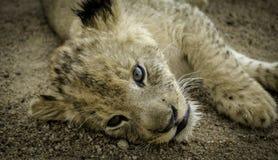 Lion Cub Stock Foto's