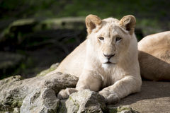 Lion cub. Beautiful lion cub resting alongside its mother Royalty Free Stock Photo