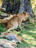 Lion cub Royalty Free Stock Images