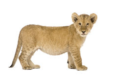Lion Cub (4 months). In front of a white background Stock Photography