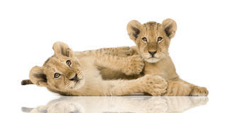 Lion Cub (4 months) Royalty Free Stock Photo