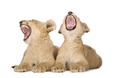 Lion Cub (4 months) Royalty Free Stock Photography