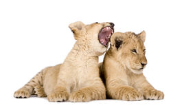 Lion Cub (4 months) Royalty Free Stock Photos