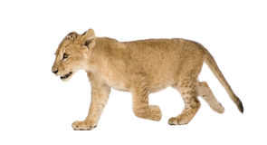 Lion Cub (4 months). In front of a white background Royalty Free Stock Photo