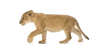 Lion Cub (4 months). In front of a white background Stock Photo